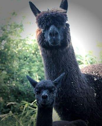 Alpaca mum and her cria