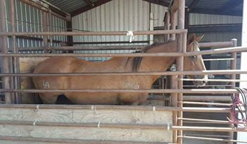 An Arnold Recipient mare awaits her fate in the kill pen before shipping to slaughter.
