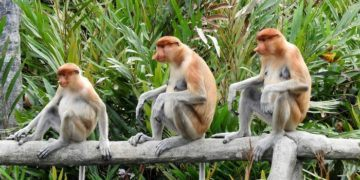 Monkeys are a big reason to visit borneo