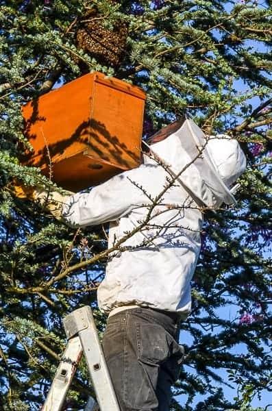 Essaimage des abeilles : avant la dispersion de la nouvelle colonie