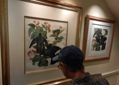 The Key West Audubon House displays 28 first-edition Audubon works. This is the painting with the orange Geiger tree, which still stands in front of the house.