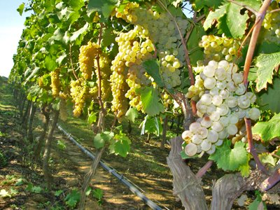 Vermentino Wine & Grape Variety Information | Winetraveler.com