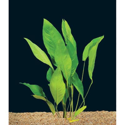 Plants That Can Grow In Water Anubias Frazeri