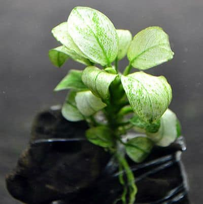 Rhizome Aquarium Plants - Anubias White or Marbled White Anubias - Rare And Exotic Aquatic Plants