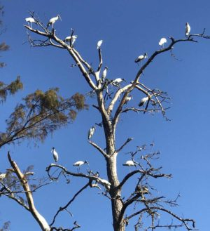 Woodstorks along the Withlacoochee River near Dunnellon. (Photo: Bonnie Gross)