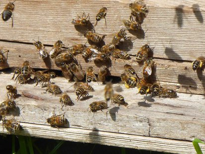bees-with-pollen