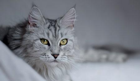 Dorosłe koty