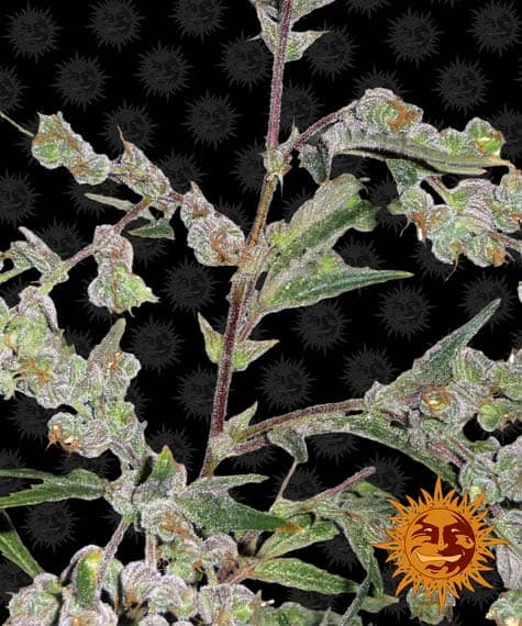 Dr Grinspoon Feminized Cannabis Seeds