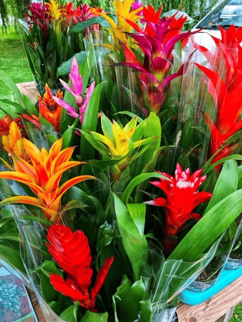 Simply plants Bromliades array of vibrant colours.