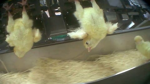 Torturing Baby Turkeys: Meet The Largest Turkey Producer In The U.S.