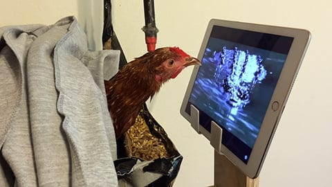 Rescued Chicken Watches TV While Recovering From Injury