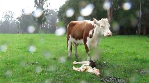 Cow silently mourns the death of her baby