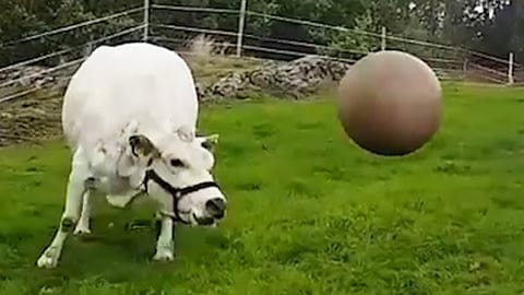 Cow Loves To Play with Pilates Ball - An Adorable Video With A True Happy Cow