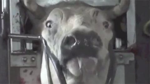 Halal Slaughter - Do Animals Feel Pain When Slaughtered? (Video)