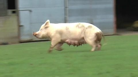 Rescued Pig Dance of Freedom - A Sow Runs Free for the First Time