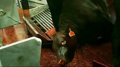 Kosher Slaughter - Video Exposing Israel's Largest Kosher Slaughterhouse