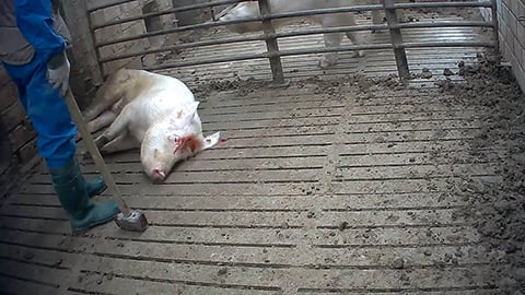 Mother Pigs Killed with a Sledgehammer - Video Exposing Italian Ham