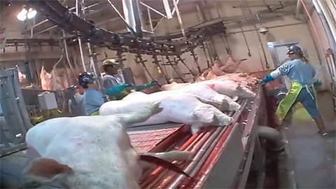 Pig Slaughter - Watch Approved High Speed Slaughter of Pigs (Video)