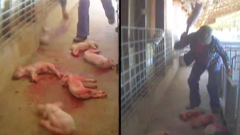 Germany: New Video Shows Workers Smash the Heads of Baby Piglets