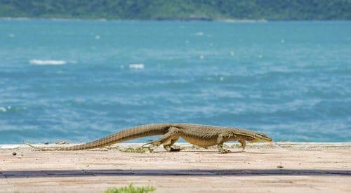 Goanna on beach in Whitsundays