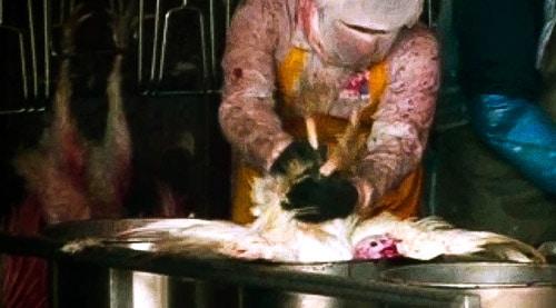 זוגלובק התעללות בתרנגולי הודו שחוטים500