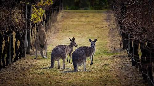 Kangaroos spotted amongst the vines on a vineyard in Australia's Hunter Valley Wine Region.