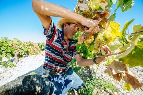 Jerez De La Frontera Sherry Wine Region and Educational Guide - Harvesting Grapes in Jerez Spain | Winetraveler.com