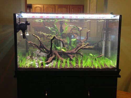 Underwater Grass For Aquarium Eleocharis Pusilla (Eleocharis Parvula or Hairgrass)