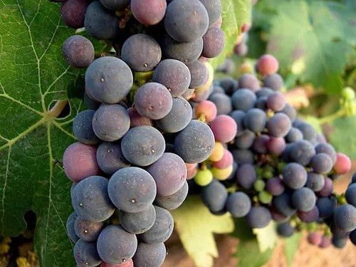 The Grape Varieties of Rioja Spain