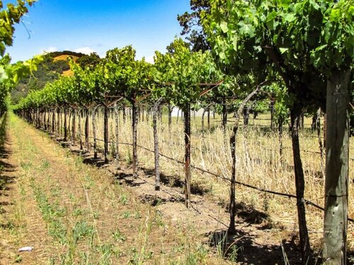 Winemaking 101 - The Art and Science of Growing Wine Grape Vines | Winetraveler.com