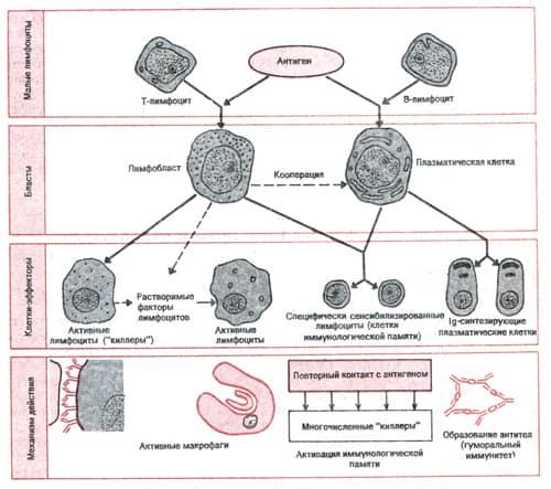 Схема участия Т- и В-лимфоцитов в клеточном и гуморальном иммунитете
