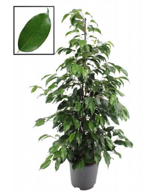 lifetree Indoor Ficus Danielle