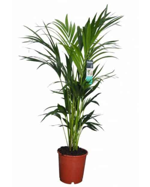lifetree Indoor Kentia Palme