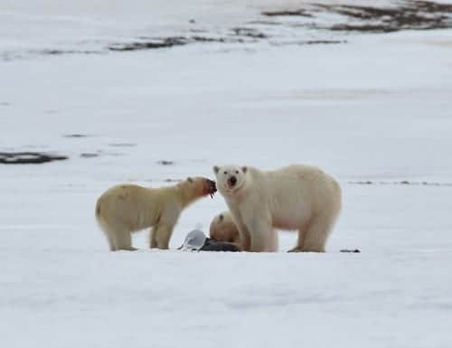 When is the best time to see Polar Bears in Svalbard? | When is the best time of year to travel to Svalbard?