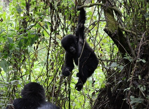 Choosing a Tour Guide for a Rwanda Gorilla Trek