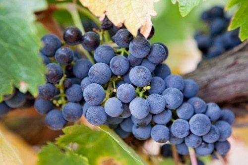 Australian Wine Varietals   Winetraveler.com