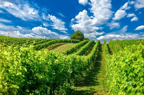 "Hungary is not only making beautiful Sparkling Wines called ""Pezsgo"", their vineyards are gorgeous to boot."