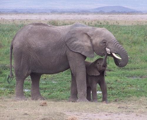 Elephants in Amboseli Kenya