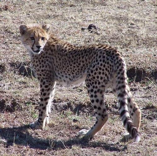 Cheetahs in Maasai Mara