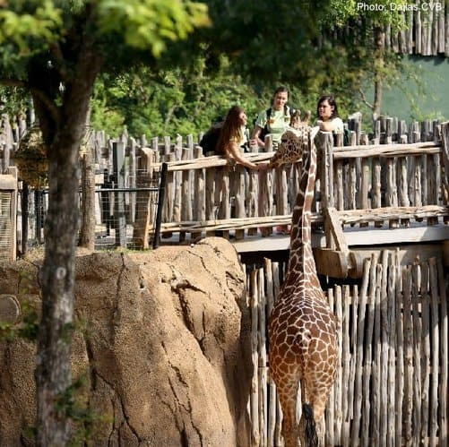 Feeding giraffes at the dallas zoo