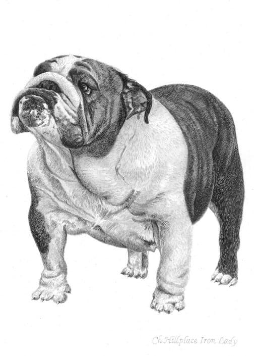 Pencil Drawing of Ch Hillplace Iron Lady Bulldog