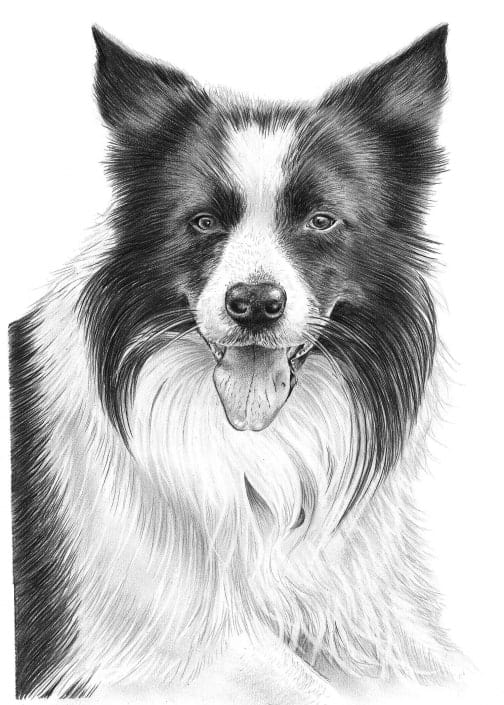 Pencil Drawing of Border Collie Dog