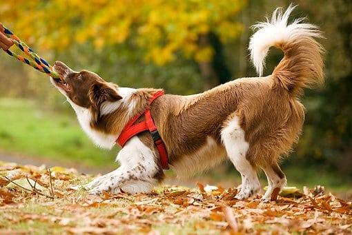 Dog playing tug of war.