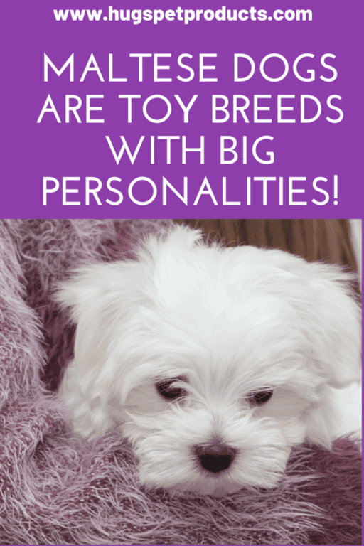 Maltese Dogs are Toy Breeds