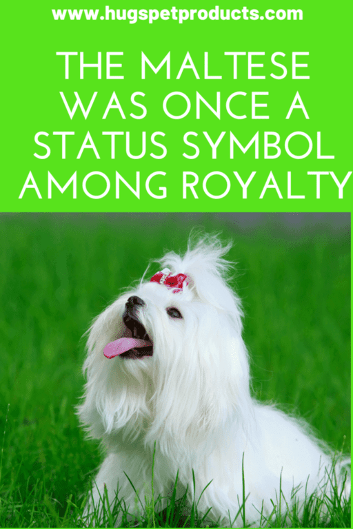 The maltese dog was once a source of pride for royalty