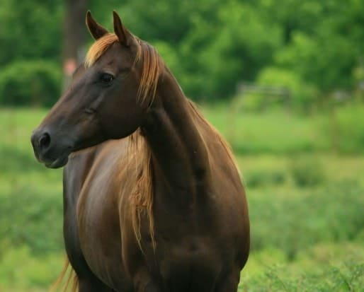 Appellate Court: AQHA Can Ban Cloned Horses