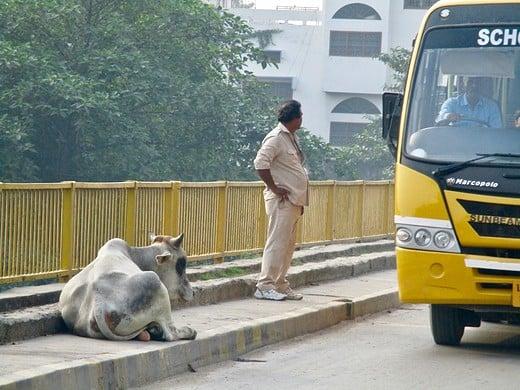 Indien: Kuh und Mann in Varanasi