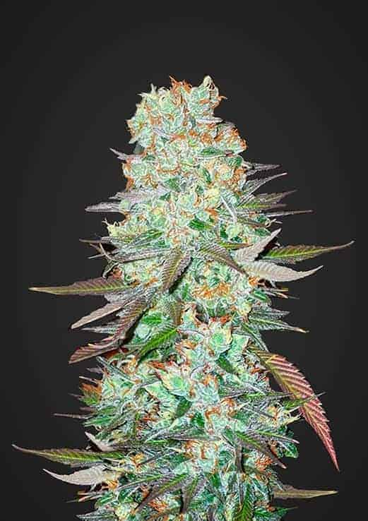 G14 Auto by Fast Buds