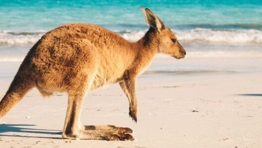 A wallaby on a sandy beach at Cape Hillsborough National Park near the Whitsunday region
