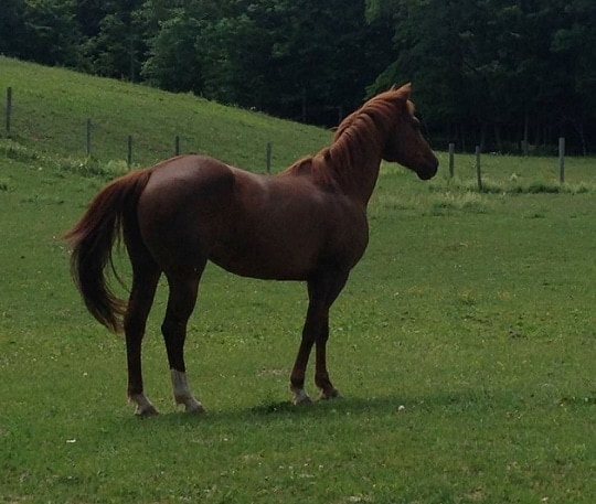 NY Equine Appraiser Faces Felony Charges in Missing Horse Case